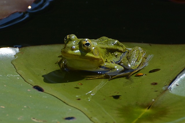 A frog on a lily pad